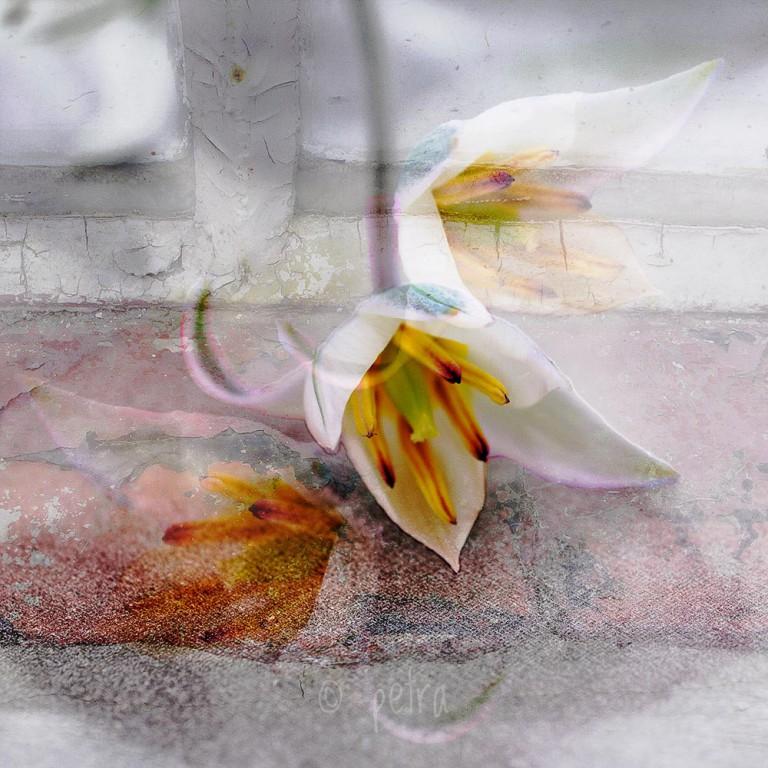 tulipe sauvage